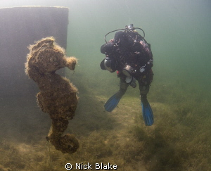 Underwater Photographer in giant Seahorse scoop!! by Nick Blake 